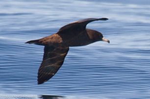 06-Presumed-Flesh-footed-Shearwater-Bodega-Bay-pelagic-CA-132-of-234