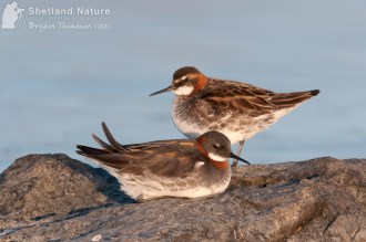 DSC3539_Red_necked-phalarope_pair-on-rock_web
