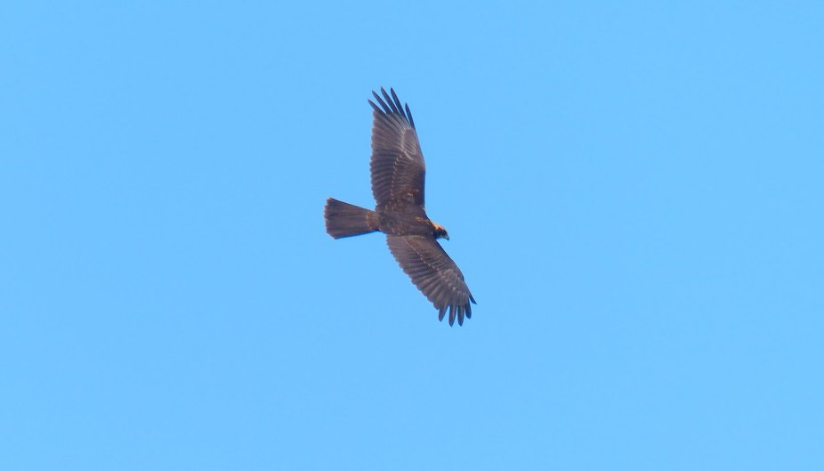 Marsh-Harrier-juvenile-July-2014-4