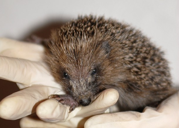 Many orphaned hedgehogs are hand reared and released back into the wild.