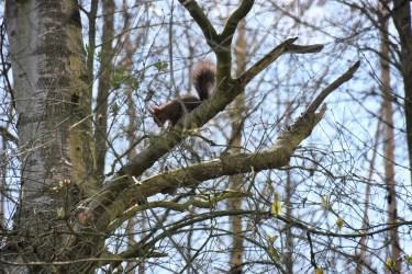 eekhoorn ( 11) (3)