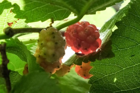 4.mulberries