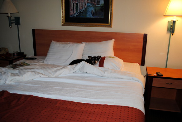 Duke at our hotel in Minnesota.  He doesn't mind camping, but he loves big comfy beds!