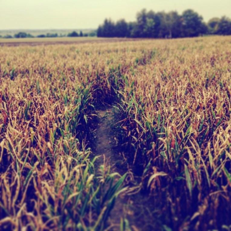 The corn labyrinth in the Bennsdorf / Frohburgh area. (Photo: Ana Ribeiro)