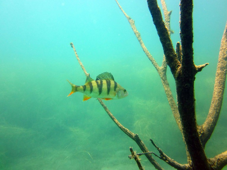 A perch spotted in the wild during scuba diving. (Photo courtesy of Harald Köpping)