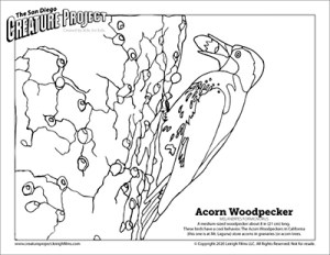 Acorn Woodpecker coloring page