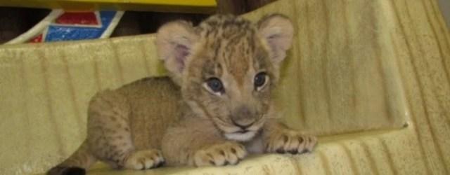 群馬サファリパーク ライオンの赤ちゃん