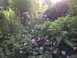 Anémones du Japon, renouée, le jardin d'épices Laurent Lafaille