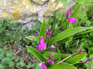 Blétilla, une orchidée  rustique