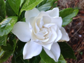 Gardenia summer snow, le jardin d'épices Laurent Lafaille