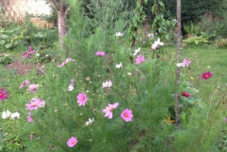 Le cosmos : une très longue floraison
