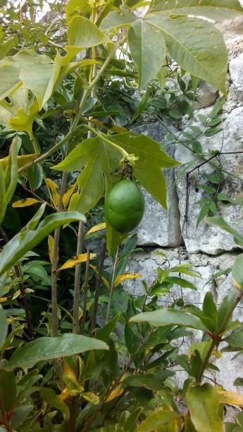 fruit de la passiflora incarnata, le Jardin d'épices