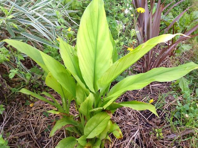 Cultiver des pices le jardin d 39 pices - Faire pousser du curcuma ...