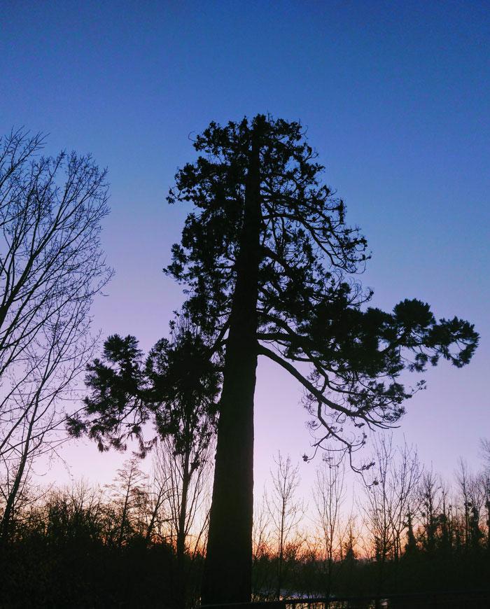 Les grands arbres - Sequoiadendron giganteum