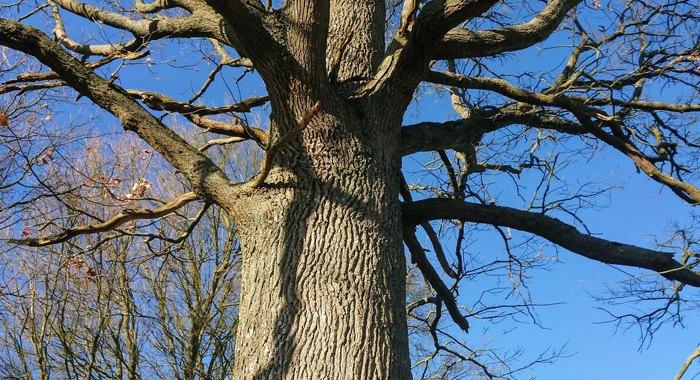 Les grands arbres : chêne pédonculé (Quercus robur)
