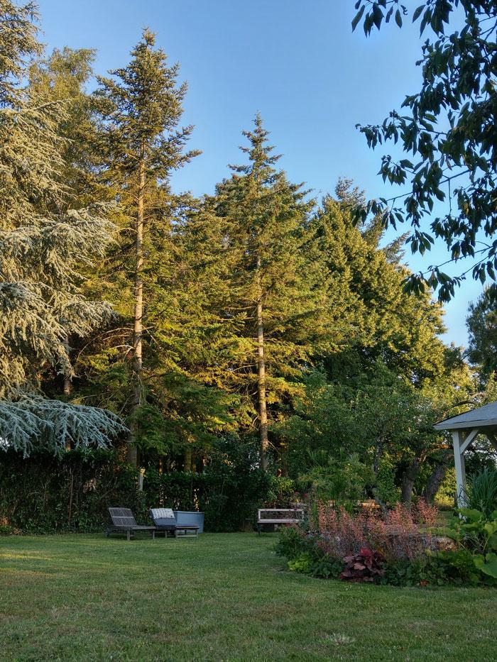 Les grands arbres : pins douglas (Pseudotsuga menziesii)
