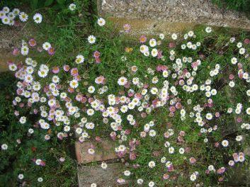 Erigeron karvinskianus 'Blütenmeer'
