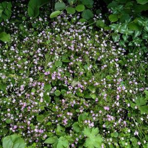 Montia sibirica