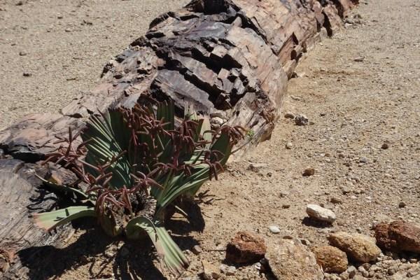 plante emblématique de Namibie