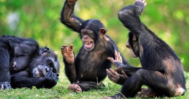 Environnement: Dans l'univers des chimpanzés de Lola