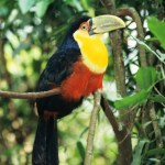 brésil-red-breasted-toucan