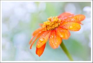 Cholie fleur