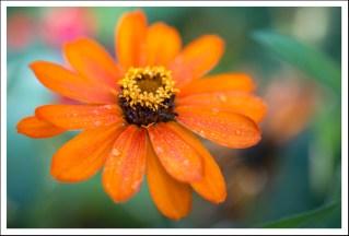 Fleur orange du Jardin Massey