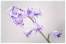 Brin de violettes
