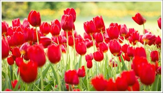 Le bosquet de tulipes