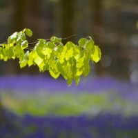 Beech and bluebell