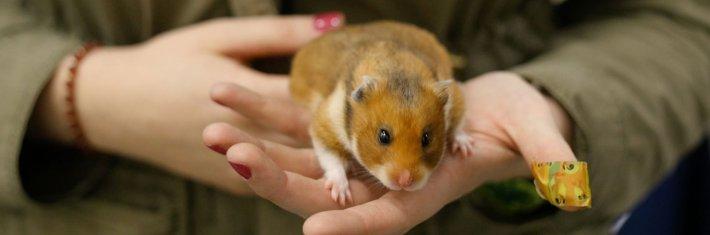 Hamsteri, lemmikki, lemmikkieläin