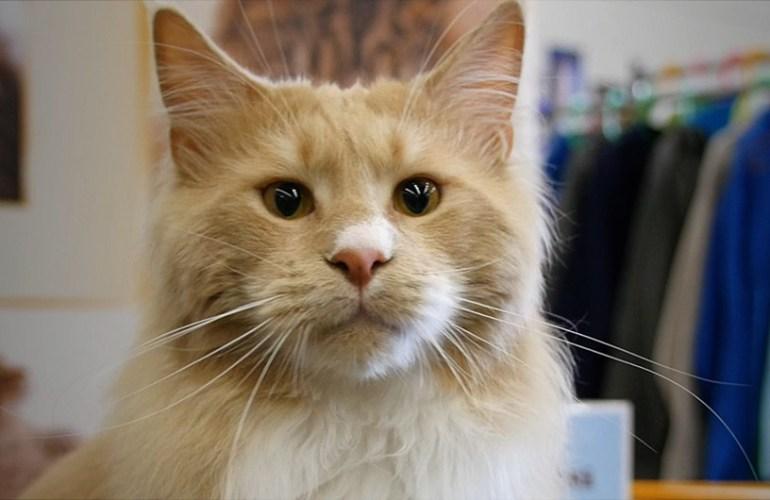 Maine Coon, kissa, kissat, kissarodut, lemmikit, lemmikkieläimet