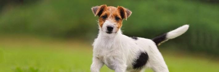 parsonrusselinterrieri koira, koirat, lemmikit, lemmikkieläimet