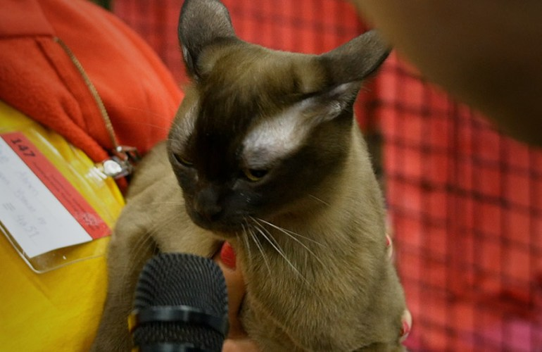 Burmakissa, kissa