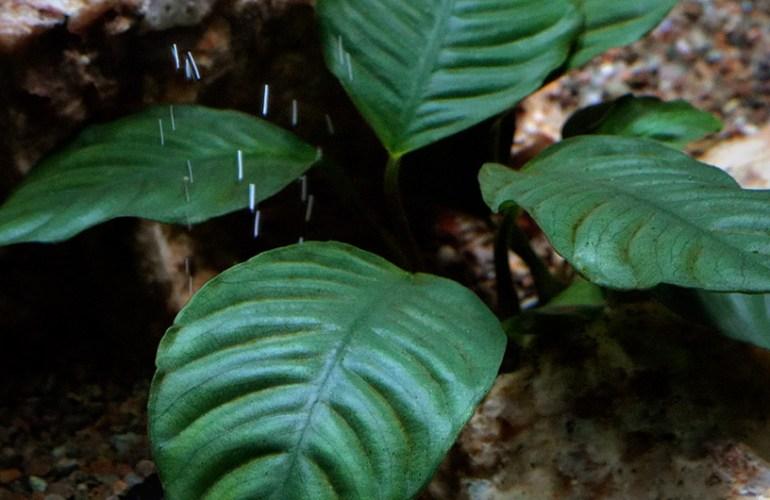 kahvikeihäslehti, akvaario, akvaariokasvi, akvaariokasvit, lemmikit, lemmikkieläimet