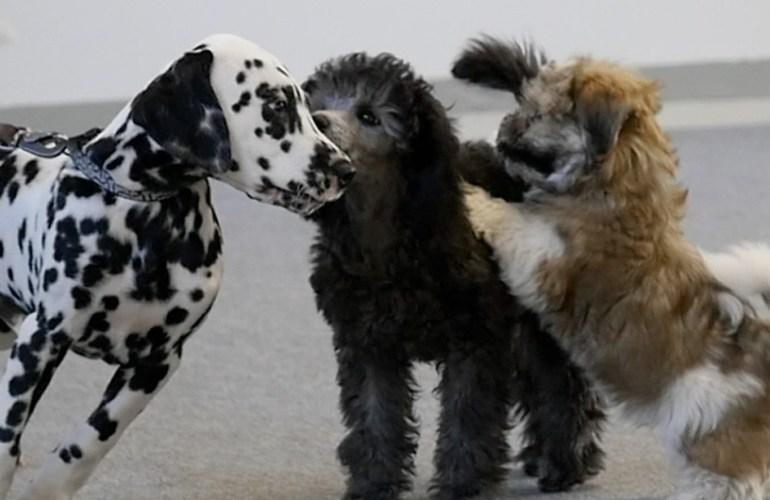 pennut - Sosialistaminen -jakso 03, pennut, koiranpentu, koiranpennut, pentu, koira, koirat, koiran hoito, lemmikki, lemmikit, lemmikkieläin, lemmikkieläimet