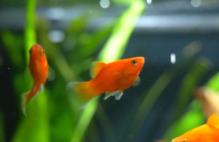 platy, akvaariokala, akvaariokalat, akvaario, akvaarion hoito, lemmikit, lemmikkieläimet