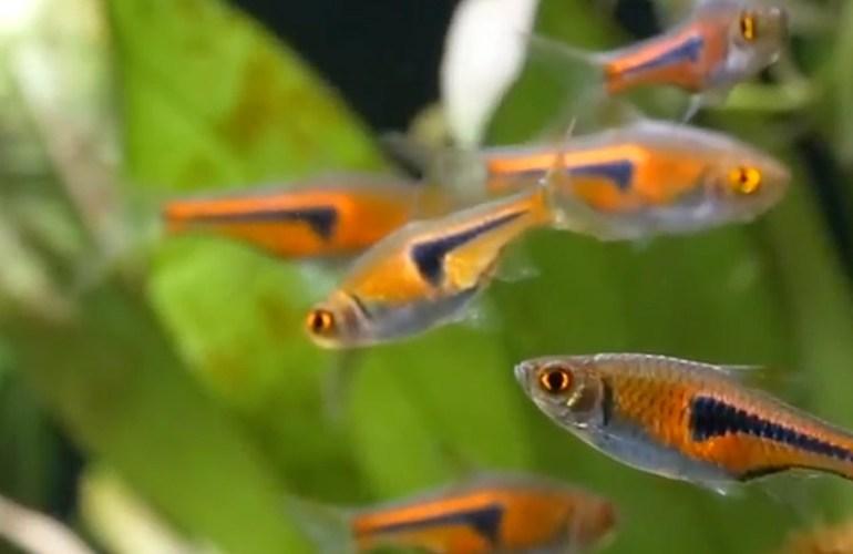 punapäätetra, romminokka, akvaariokala, akvaariokalat, akvaario, akvaarion hoito, lemmikit, lemmikkieläimet