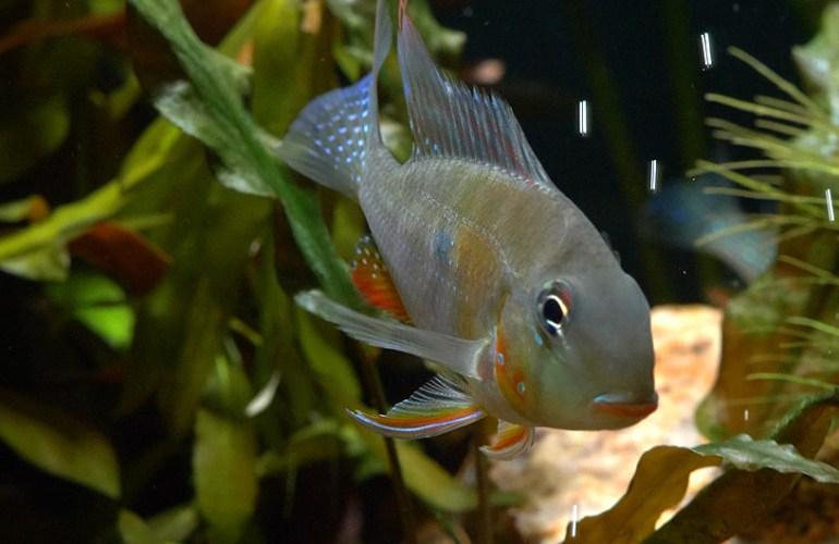 rihmakirjoahven, kirjoahvenet, akvaariokala, akvaariokalat, akvaario, akvaarion hoito, lemmikit, lemmikkieläimet