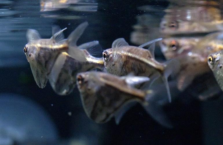 marmoritapparakala, akvaariokala, akvaariokalat, akvaario, akvaarion hoito, lemmikit, lemmikkieläimet