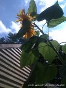 sunflower26