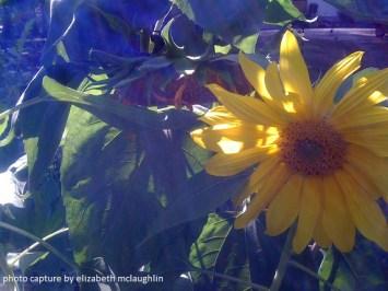 sunflower52