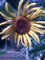 sunflower65