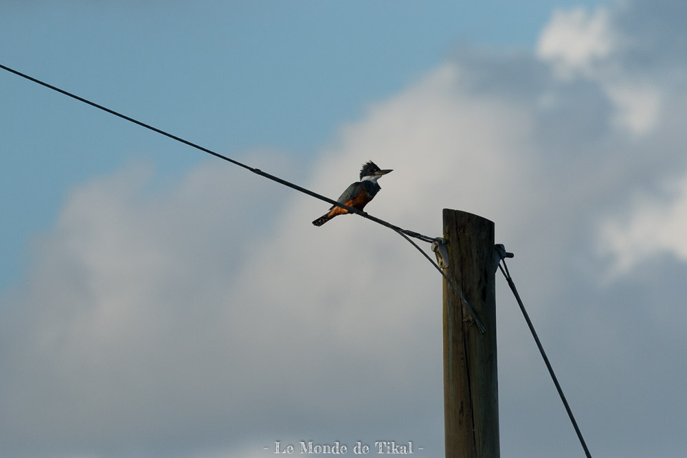 belize creek tree oiseau martin