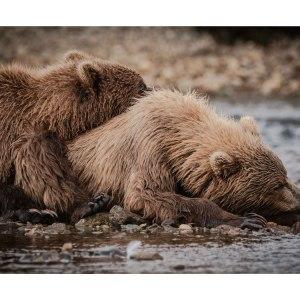 2-Grizzlis-en-pleine-sieste-Katmai