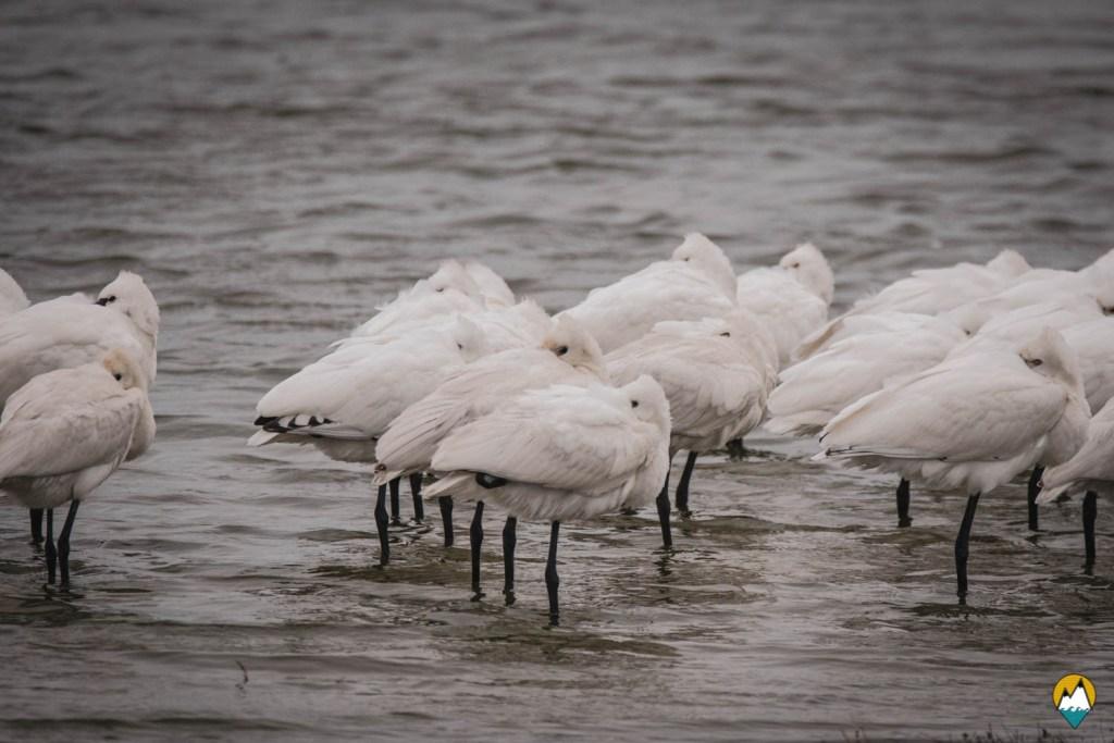Baie de Somme - Parc ornithologique du Marquenterre - Spatules d'Europe