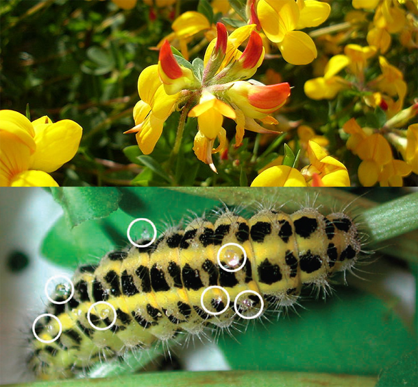 Source ICI http://blogs.discovermagazine.com/notrocketscience/2011/04/12/moth-and-plant-hit-on-the-same-ways-of-making-cyanide/#.UWvHaaLwmZ4