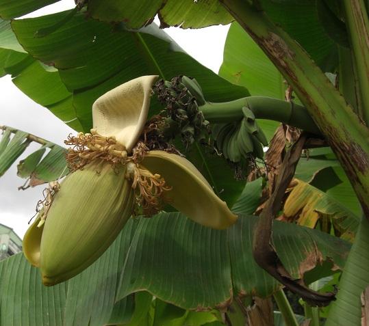 bananier1