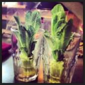 My Lettuce growing
