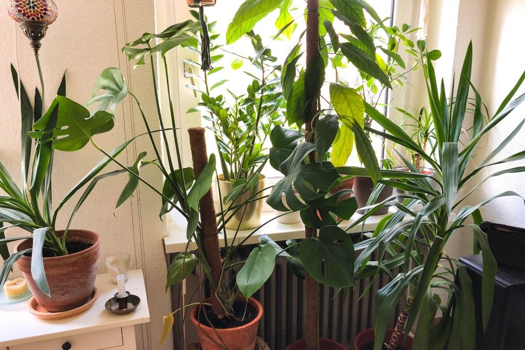 Zimmerpflanzen am Fenster. Aus dem Artikel: Zimmerpflanzen umbringen leicht gemacht – ein Erfahrungsbericht